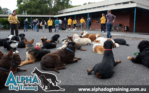Alpha Dog Training