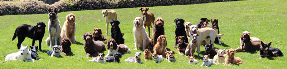 38 of the Trainers' and Trainees' dogs holding sit, drop and stand Step-Aways